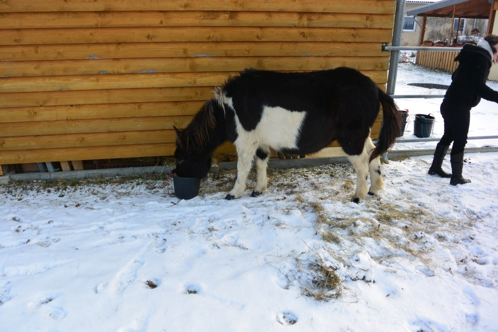 2014-01-26-feeding-our-horses-buddy-olly